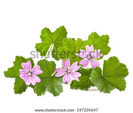 Mallow with leaves and flowers isolated on white - stock photo