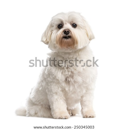 Maltese - stock photo