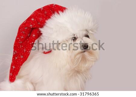 Maltese Dog - stock photo