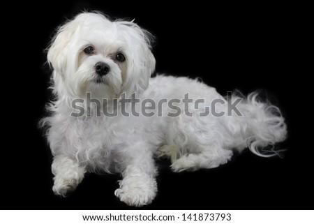 Maltese dog  isolated on the black background - stock photo