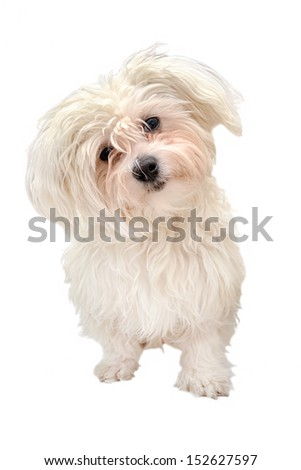 Maltese dog isolated on white background - stock photo