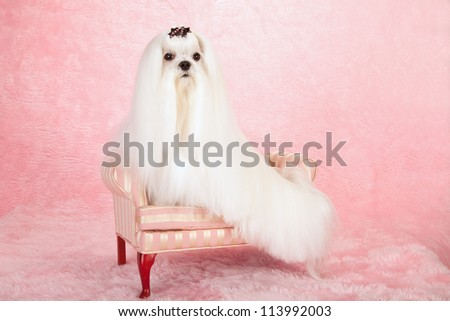 Maltese dog on miniature couch sofa chair chaise on pink background - stock photo