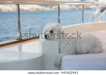 Maltese dog on the deck of a sailing boat - stock photo