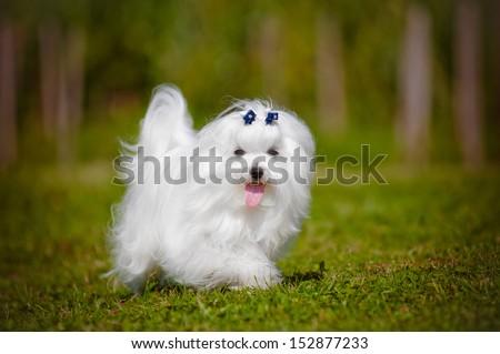 maltese dog walking outdoors - stock photo