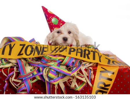 maltese dog with party hat with white background - stock photo