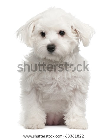 Maltese, 7 months old, sitting in front of white background - stock photo