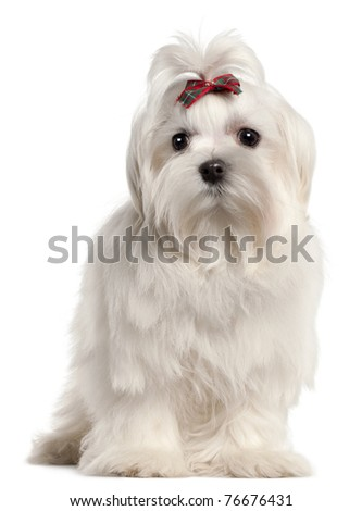 Maltese puppy, 4 months old, in front of white background - stock photo
