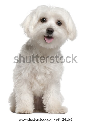 Maltese puppy, 9 months old, sitting in front of white background - stock photo