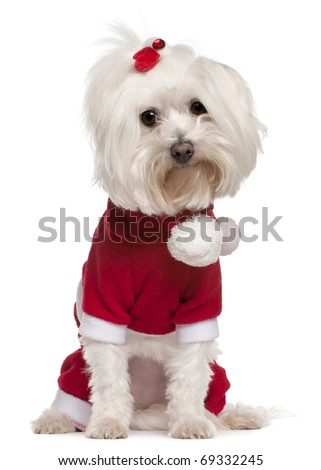 Maltese wearing Santa outfit, 4 years old, sitting in front of white background - stock photo