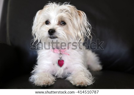 Maltese Yorkie mix also known as a Morkie puppy  - stock photo