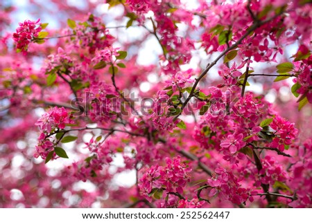 Malus pumila - Beautiful gentle lovely pink fragrant spring flowers of a paradise apple-tree in small DOF - stock photo