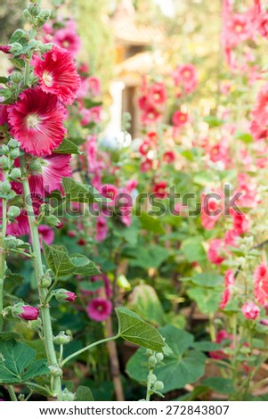 Malva (Alcea rosea hollyhock) flowers in a garden. Gorgeous floral background for holidays, beauty and nature. - stock photo