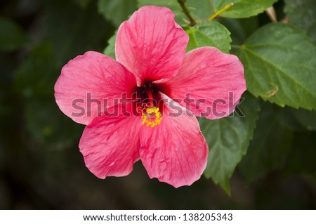 Malvaceae.  - stock photo