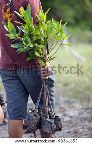 man carrying young mangrove tree for reforestation, Satun, Thailand - stock photo