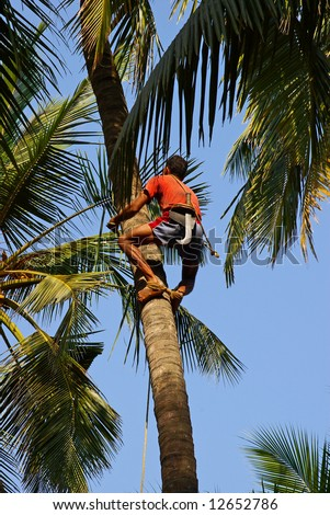 Man climbs on a tree to reap crop of a cocoes - stock photo