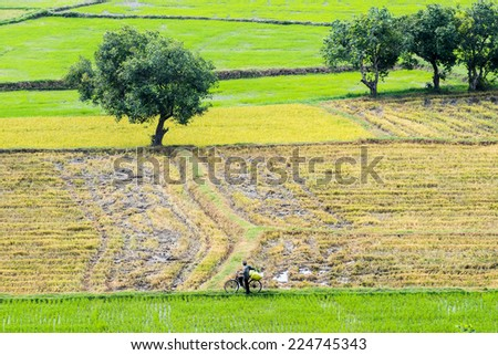 Man driving bicycle on the path of the rice paddy - stock photo