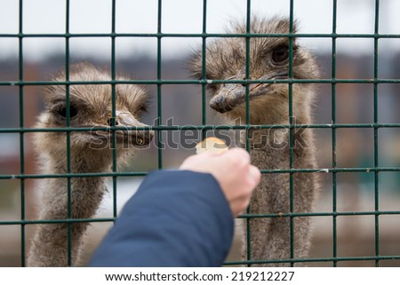 Man fed ostriches at the zoo - stock photo