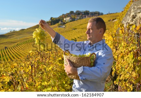 Man holding a basket of grapes. Lavaux region, Switzerland - stock photo