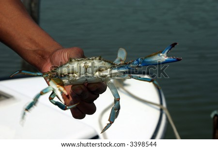 Man holding a Blue Crab in Motion with blurred moving claws - stock photo