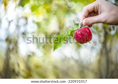 man holding an apple with a branch and leaves in his hand in the fall in the garden  - stock photo