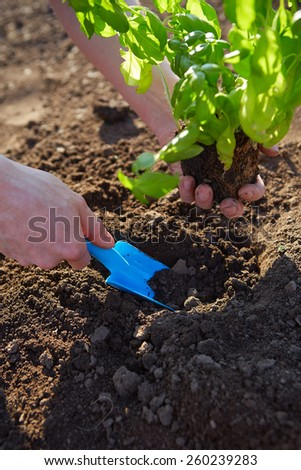 Man holding basil at planting with garden shovel - stock photo