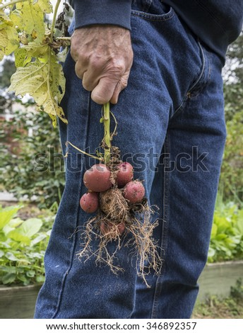 Man holding bunch of red potatoes still on the stem that he just pulled out of the ground. These were grown from old potato peelings and eyes just thrown into the garden! - stock photo