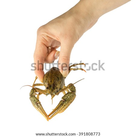 man holding wild Signal crayfish in hand - stock photo