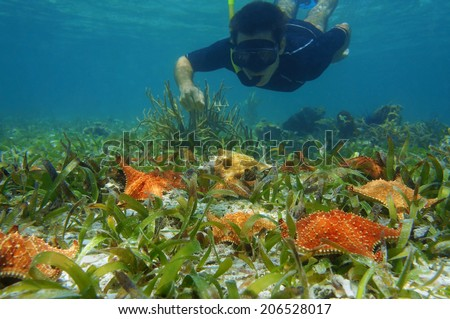 man in snorkel underwater looks starfish with a queen conch on the seabed, Caribbean sea - stock photo