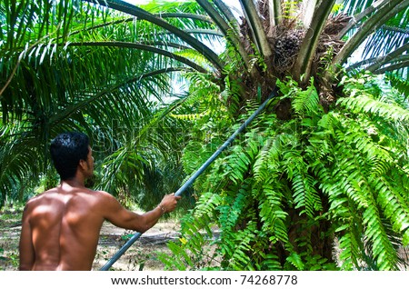 Man keep the oil palm  by spade Palm Oil Plantation. Palm oil to be extracted from its fruits. - stock photo