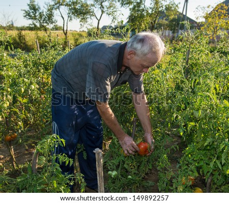 Man picking tomatoes in his garden - stock photo