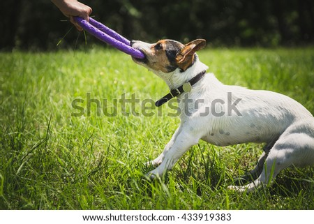 man playing with small dog breeds Jack Russell Terrier in a bright ring on the grass on a summer day - stock photo