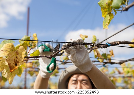 man pruning brunches - stock photo