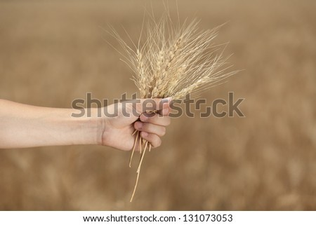 Man's hand holding a spike on the background field - stock photo