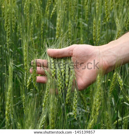 man's hand holding spicas of wheat - stock photo