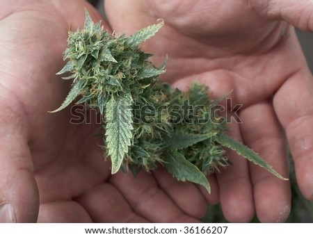 Man's hands holding fresh marijuana cannabis female bud - stock photo