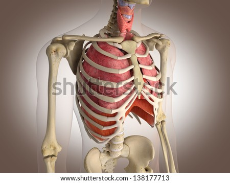 Man skeleton with internal organs. 3 D digital rendering. - stock photo