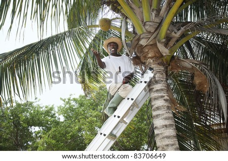 man up a palm tree tossing a coconut nut down - stock photo