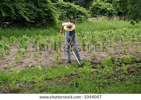 Man working on corn field - stock photo