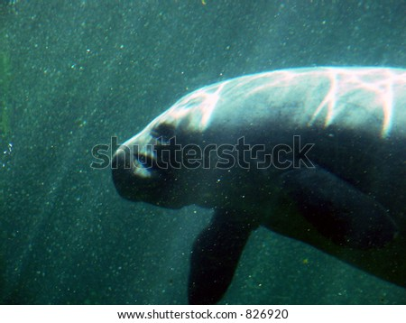 Manatee - stock photo