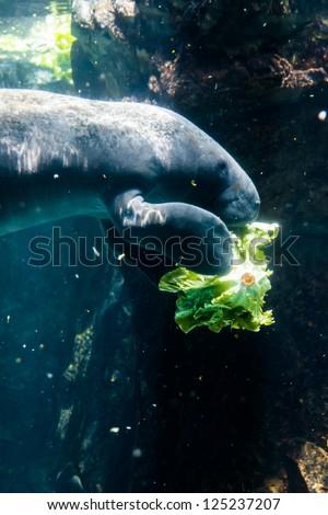 Manatee eating salad - - stock photo