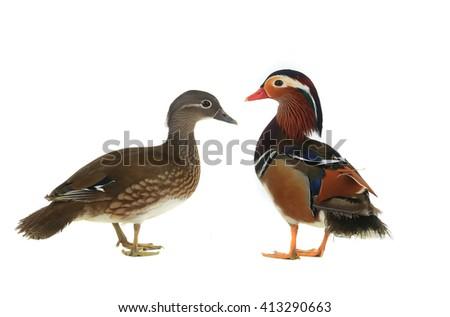 mandarin duck isolated on white background. - stock photo