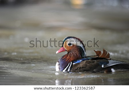 Mandarin Duck swimming in a pond at Khao Kheow Open Zoo,Cholburi,Thailand - stock photo
