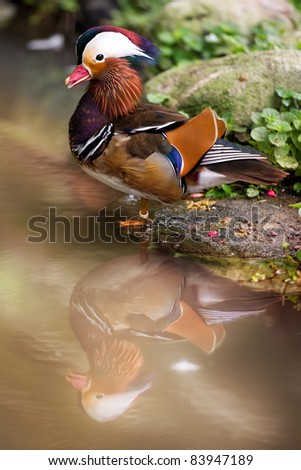 Mandarin Duck with water reflection - stock photo