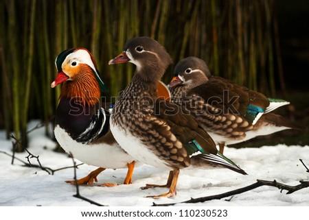 mandarin ducks - stock photo