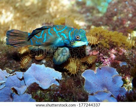 mandarin fish - stock photo