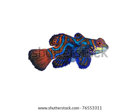 mandarin fish isolated on white - stock photo