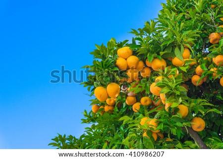 mandarin fruits on a tree.  Orange tree.  fresh orange on plant - stock photo