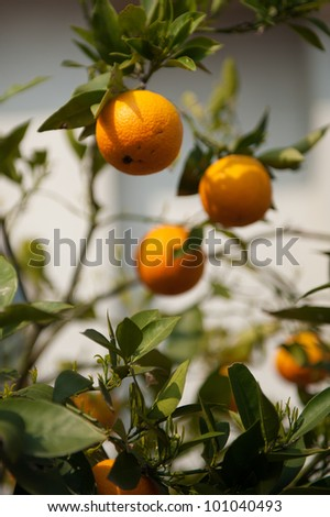 Mandarin oranges growing from a tree in Italy - stock photo