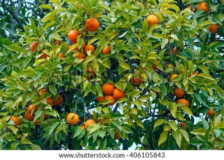 Mandarin tree with orange fruits and dense foliage. - stock photo