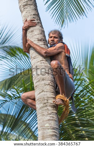 MANDREM, GOA, INDIA - MARCH 26, 2013: Unidentified Hindu with machete climbs a palm to cut off coconuts on March 26, 2013 in Goa.  - stock photo